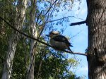 A Kookaburra, a common sight around the campgrounds