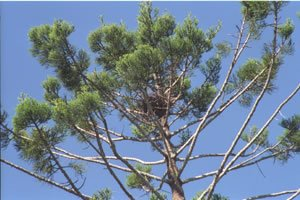 Hoop Pine & bird nest